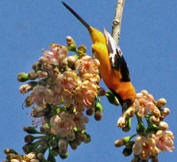 Birding in Yucatan: Altamira Oriole observed at Hacienda Chichen
