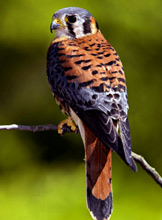 Birding in Yucatan at Hacienda Chichen Resort, Chichen Itza, Mexico - American Kestrel Falcon