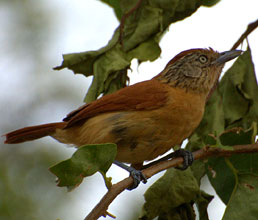 Barred antshrike - female bird found at Hacienda Chichen and Yaxkin Spa, Yucatan, Mexico