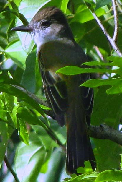 Yucatan Flycatcher Myiarchus Yucatanensis Endemic Bird Species To The Found At Hacienda Chichen