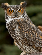 Great Horned Owl (English) - b�ho real o b�ho americano  (Spanish) - Nohoch Xoch' (Maya) - bubo virginianus
