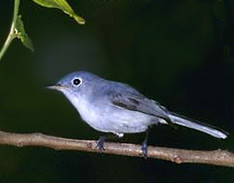 Yucatan Bird Guided Tours: observe lovely Blue-gray gnatcatcher, Polioptila caerulea