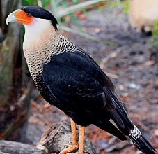 Maya Nature and Birding in Yucatan, enjoy observing falcons and caracaras at Hacienda Chichen Resort, Chichen Itza