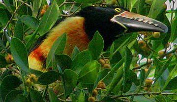 Yucatan birds: Collared Aracari, Pteroglossus torquatus, observed at Hacienda Chichen