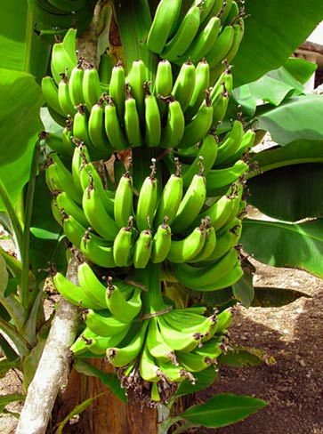 Organic Banana crops are served at Hacienda Chichen's breakfasts and luncheons, see our free recipes here