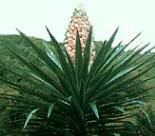 Yucatana Yucca is also known as Aloe yucca - native to Yucatan, Mexico. View other flora found in Yucatan here.