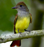 Great creasted flycatchers at Hacienda Chichen Bird Refuge in Chichen Itza, Yucatan, Mexico