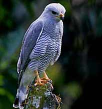 Gray hawks breed at Hacienda Chichen's lush tropical gardens where guests enjoy observing this magnificent raptor