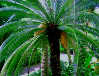 "Cycads are rare to encounter and could be said are ""living fossils."" Observe the amazing double Cycad cone fruits this exotic plant carries at Hacienda Chichen Resort."