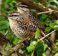 Yucatan Wren Couple in their breeding grounds. Observe them at Hacienda Chichen's Bird Refuge