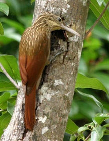 Ivory-billed woodcreeper at Hacienda Chichen private Bird Refuge and Gardens, Chichen Itza, Yucatan, Mexico