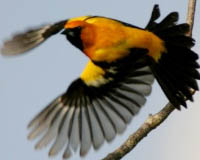 Yucatan Endemic Birds: Orange Oriole protected at Hacienda Chichen Bird Refuge, Chichen Itza