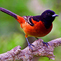 Enjoy observing orchard orioles at Hacienda Chichen gardens and Bird Refuge, in Chichen Itza