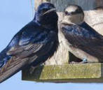 Purple Martin birds nesting. Yucatan bird watching