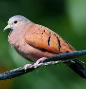 Chichen Itza Birding Tours at Hacienda Chichen - observe the Ruddy Ground Dove