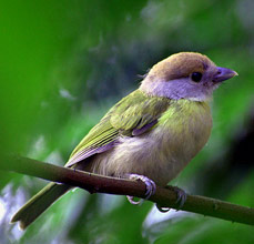 Enjoy birding at Hacienda Chichen and find many Rufous-browed peppershike, Cyclarhis gujanensis