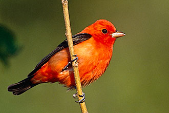 Yucatan Birding Vacation Packages - Scarlet tanager found at Hacienda Chichen Bird Refuge