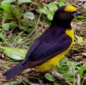 Scrub Euphonia male found at Hacienda Chichen, come enjoy a true eco-vacation