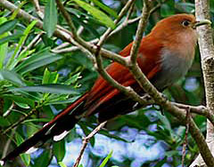 Squirrel Cuckoo - Maya Bird Tours and Wildlife Observation at Hacienda Chichen Resort, Chichen Itza, Yucatan, Mexico