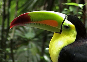 Bird-watching guided tours at Hacienda Chichen, Chichen Itza, Yucatan, Mexico - enjoy the magestic beauty of the Keel-billed Toucan