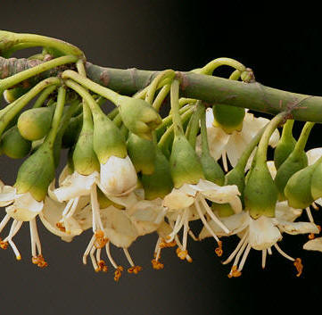 Ceiba Tree flowers are off white with loads of nectar. The Ceiba or yaaxche tree is sacred to the Maya since ancient times.