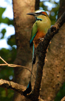 Yucatan Birding at Hacienda Chichen Resort guests enjoy the Turquoise-browed Motmot or Toh Bird