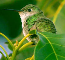 Yucatan birding Vacations: Emerald-chinned hummingbird, one of the many hummingbirds observed at Hacienda Chichen Bird Tours in Chichen Itza, Yucatan, Mexico