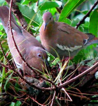 Birding in Yucatan: Hacienda Chichen offers you best bird sightseeing - white tipped dove
