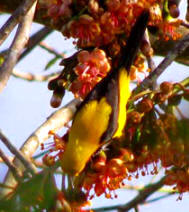 Yucatan Birding: Yellow Backed Oriole at Hacienda Chichen near the Mayan ruins of Chichen Itza