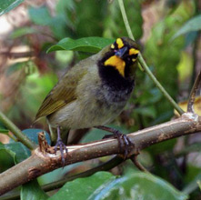 Yellow-faced grassquit are permanent residents at Hacienda Chichen Bird Refuge and Gardens, Chichen Itza, Yucatan, Mexico