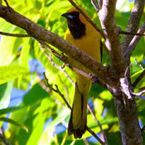 Yellow Tailed oriole found at Hacienda Chichen Bird Refuge in Chichen Itza, Yucatan