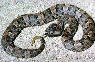 Yucatan Snakes found in Chichen Itza: Endemic snakes