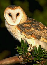 Tyto alba: Barn owl (English) -  lechuza com�n (Spanish) - Xoch' (Maya) observed at night at Hacienda Chichen Bird Refuge, Yucatan birding