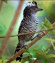 Barred antshrike - male found at Hacienda Chichen Bird Refuge, Chichen Itza, Yucatan, Mexico