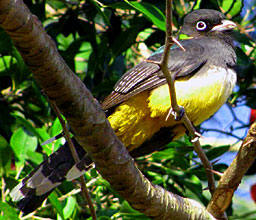 Birds found in Yucatan: Black headed trogon at Hacienda Chichen Bird Refuge