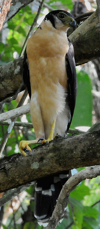 Collared Forest Falcon found at Hacienda Chichen Resort Bird Refuge, Chichen Itza, Yucatan