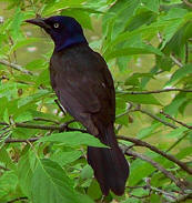 Common Grackle is called Pi'ich in Maya - Chichen Itza bird-watching at Hacienda Chichen Resort, Mexico