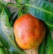 Annona like other tropical fresh organic fruits are ideal for a summer smoothie
