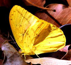 Large Orange Sulphur butterflies are found in Yucatan's rural roads and Maya forest