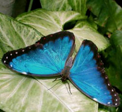Morpho butterflies are a joy to watch at Hacienda Chichen gardens in Chichen Itza, Yucatan, Mexico