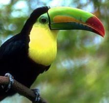 Keel billed Toucan is a migratory bird viewed during breeding season at Hacienda Chichen's Bird Refuge