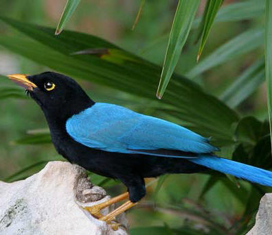 Yucatan Jay Endemic species of the Yucatan Peninsula, Mexico