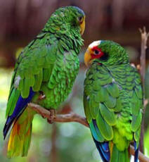 yucatan parrots are endemic to the Yucatan Peninsula, the T'uut (Maya) is a parrot is a monogamous wild animal.