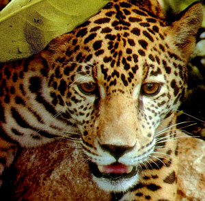 The beauty and power of the Jaguar will always bring awe to our hearts and those of the Maya in Yucatan.
