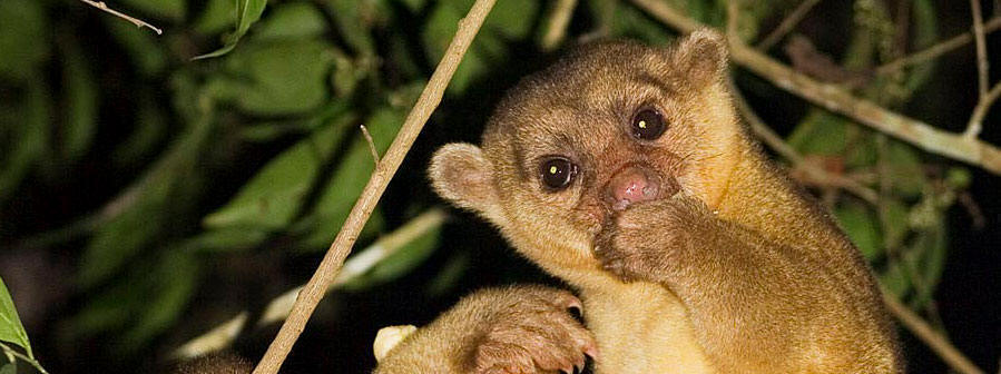 "Kinkajou is called Ak'ab ma'x in Maya and we are committed to protect it! In  Mexico is listed as in need of ""special protection"""