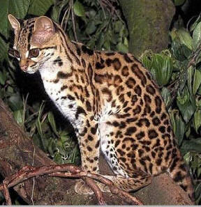 "Margay (leopardus wiedii) is called ""Chulul"" in Maya"