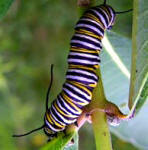 Monarch cartepiller - learn more about these amazingly beautifulsl creatures - Butterfly Life Cycle, etc.