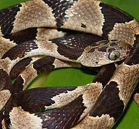 Yucatan Blunt-headed tree snake, Imantodes tenuissimus, is endemic to the Yucatan Peninsula, Mexico