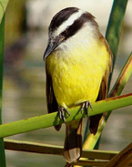 Great Kiskadee found at Hacienda Chichen Bird Refuge and Hotel, Chichen Itza, Yucatan