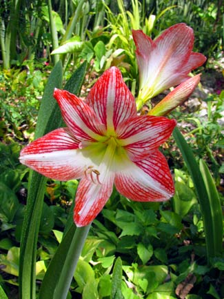 Hippeastrum 'Minerva' � Amaryllis � graces the path to Merle Greene's Maya Museum in Chichen Itza, Yucatan, Mexico